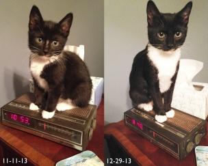Billysky Kitten