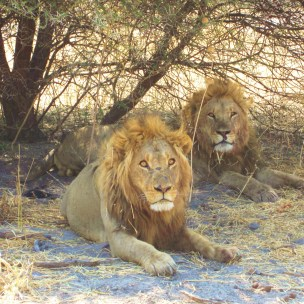 Okavango Lions