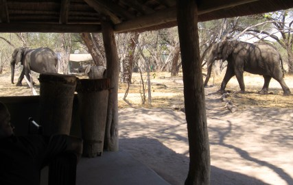Some elephants visiting during lunch time