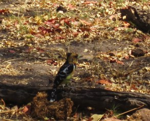 crested-barbet-botswana-1