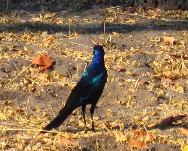 long tailed glossy starling botswana 2