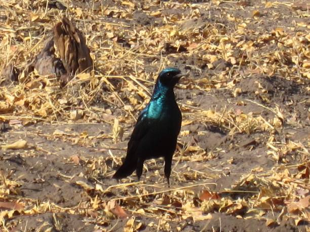 Long tailed glossy starling botswana