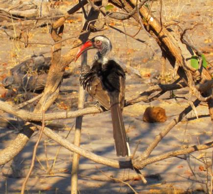 redbilled hornbill borswana 3