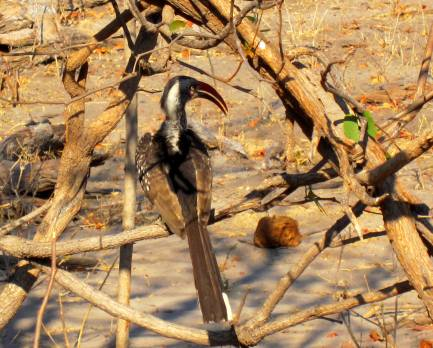redbilled hornbill botswana