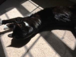 Billysky cat sunbathing 4