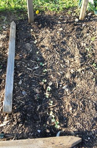 conshohocken radish 2
