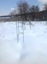 snow fig tree