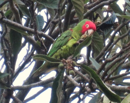 parrot of telegraph hill