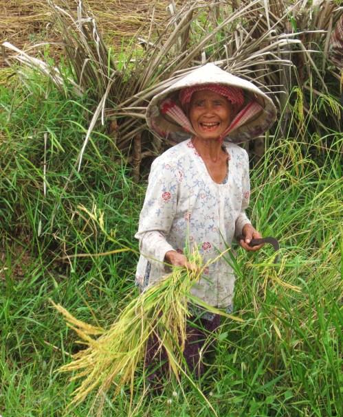 cambodia harvesting rice