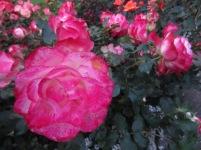 butchart garden 7