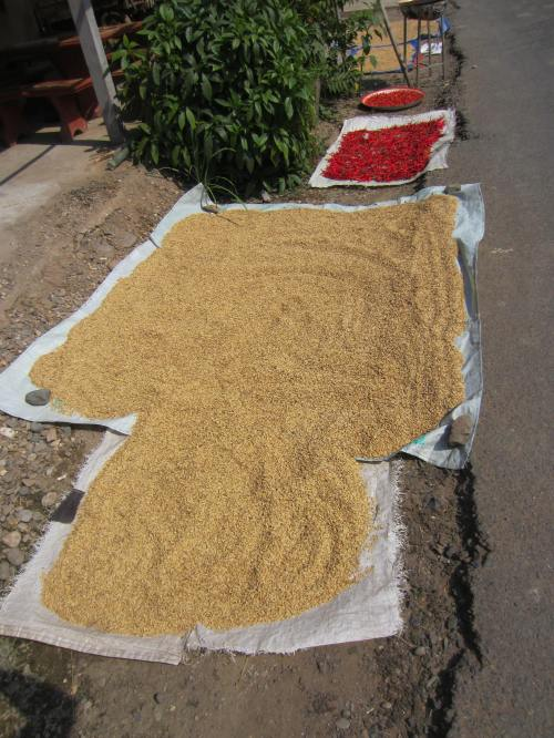 Rice drying